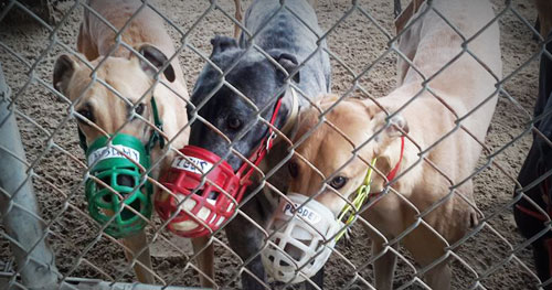 muzzled greyhounds in a turnout pen